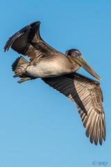Flying Brown Pelican (MelRoseJ) Tags: sanleandro california unitedstates us nature northerncalifornia bayarea birds a77ii alpha sonyalpha sony sonyilca77m2 sal70200g brownpelican