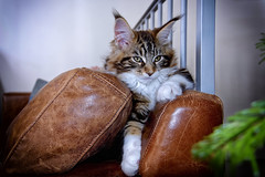 Monsieur Maine Coon (thierrybalint) Tags: mainecoon domestique chat nikon nikoniste animal cccg
