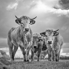 Colorfull Cows in B&W (Drummerdelight) Tags: composition cow blackwhite lowpov