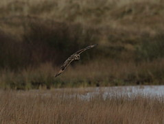 IMG_9988 (monika.carrie) Tags: monikacarrie wildlife seo shortearedowl forvie scotland owl