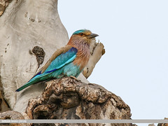 Indian Roller (Coracias benghalensis) (gilgit2) Tags: avifauna balloki birds canon canoneos7dmarkii category fauna feathers geotagged imranshah indianrollercoraciasbenghalensis kasur location miranwala pakistan punjab species tags tamron tamronsp150600mmf563divcusd wildlife wings gilgit2 coraciasbenghalensis