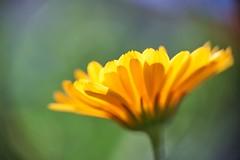 a gift (rondoudou87) Tags: flower fleur gift color couleur close closer colors couleurs bokeh painted painting yellow jaune jardin garden light lumière pentax k1 rondoudou87 nature natur vignettage vignetting
