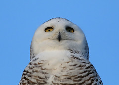 Snowy Owl...#8 (close up in the wild) (Guy Lichter Photography - 4.4M views Thank you) Tags: canon 5d3 canada manitoba wildlife animal animals bird birds owl owls snowyowl