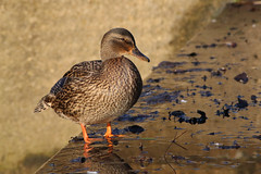 Mallard (f) (robin denton) Tags: bird duck waterbird york northyorkshire wildlife nature winter yorkuniversitycampus heslingtonwest mallard anasplatyrhynchos