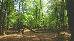 New Forest NP, Hampshire, UK (east med wanderer) Tags: england hampshire uk newforestnationalpark nationalpark trees beech green
