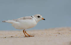Piping Plover (F) (JDA-Wildlife) Tags: birds nikon nikond7100 tamronsp150600mmf563divc jdawildlife johnny portrait closeup eyecontact coopersbeachliny plovers ploverpiping pipingplover gorgeous