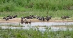 White-backed Vultures (Gyps africanus) after bath in Sabie riverbed ... (berniedup) Tags: skukuza kruger whitebackedvulture gypsafricanus vulture taxonomy:binomial=gypsafricanus river
