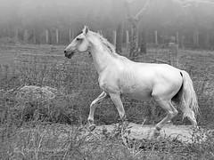 Early walk (Passeio matinal) (José Rasquinho) Tags: cavalo branco campo nevoeiro animais arrábida josérasquinho