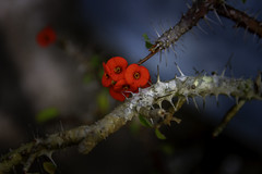 _MGL1183 (exorist_420) Tags: flower red blue