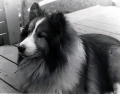 Doggy (Thomas Burgett) Tags: dog puppy sheltie nature animal pet housepet film filmcamera blackandwhite goodboy exif 35mm
