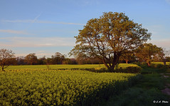 Soon be Summer (Lee1885) Tags: rapeseed tree summer yellow shropshire field sunny sky