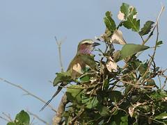 Lilac-breasted Roller (Oleg Chernyshov) Tags: лиловогрудаясизоворонка lilacbreastedroller coraciascaudatus coraciascaudate сиреневогрудаясизоворонка