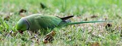 #roseringed #Parakeet #tamron70210 #nikon #d7200 #Roma #laghettoeur (arwdlbi) Tags: nikon d7200 parakeet roseringed laghettoeur roma tamron70210