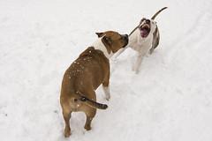 Kutyáim (My Life In Picture: PauerArt) Tags: amstaff dog amerikaistaffordshireterrier barát kutyák staffi