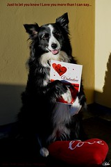 Love you more than I can say (ASHA THE BORDER COLLiE) Tags: valentines card funny dog picture heart border collie ashathestarofcountydown connie kells county down photography