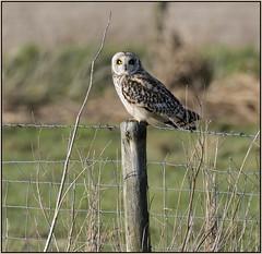 Short-eared Owl (image 2 of 2) (Full Moon Images) Tags: wicken fen burwell nt national trust wildlife nature reserve cambridgeshire bird birdofprey shorteared owl