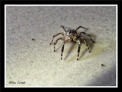 jumping spider ( araignée sauteuse) (hcortade) Tags: araignée spider sauteuse jumping thailande samui voyage travel animal arachnide arachnid ile island macro coth5