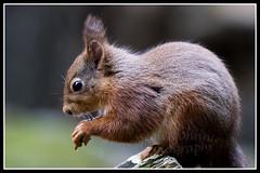 IMG_0032 Red Squirrel (Scotchjohnnie) Tags: redsquirrel sciurusvulgaris squirrel squirrelphotography rodent mammal wildanimal wildlife wildlifephotography wildandfree nature naturephotography canon canoneos canon7dmkii canonef70200mmf28lisiiusm scotchjohnnie