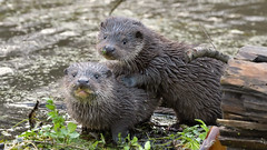 Two Otter Cubs (image 1 of 3) (Full Moon Images) Tags: wildlife nature animal mammal two wild otter cubs