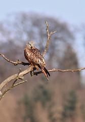 Red Kite - Michael Bird (Michael R Bird) Tags: redkite raptor birdofprey forkedtail rutlandwater rutland northarm michaelbird canon tamron 6d g2 150600mm