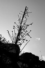 Almond Tree Seedling B&W (zeevveez) Tags: זאבברקן zeevveez zeevbarkan canon almond bw