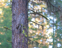 Enviro-crypticism in effect with elusive Great Gray Owl (Khanh B. Tran) Tags: