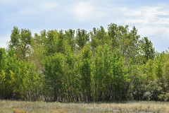 DSC33_24129 (heartinhawaii) Tags: landscape trees aspens adamscountyregionalpark southplattetrail adamscounty colorado nature nikond3300
