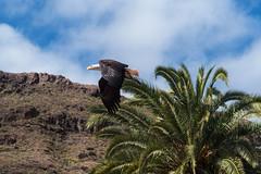 Bald Eagle (Eskling) Tags: american bald eagle gran canaria raptor palmitospark bird