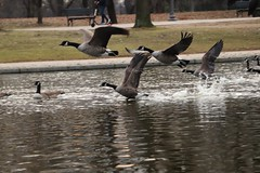 Birds in Flight: Ducks and seagulls in Washington DC #ducks #birds #seagul #wings #water #flight #flying #bird #duck #gul #winged  #animals #avian #outdoors #winter #pond #washington #DC #nature (swanson.matt) Tags: ducks birds seagul wings water flight flying bird duck gul winged animals avian outdoors winter pond washington dc nature