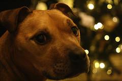 Chester (jamesdavidboro2) Tags: staffy staffordshire bull terrier satff pit amstaff dogs pets bullies canon eos 400d m42 carl ziess jenna tessar 50f28 httpswwwflickrcomgroupsclickclickbangbang