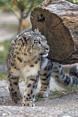 Walking next to the log (Tambako the Jaguar) Tags: snowleopard big wild cat walking pacing log branch tree portrait looking sand stones basel zoo zolli switzerland nikon d5