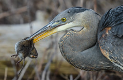 So much for a Happy 2019 (wesleybarr1962) Tags: greatblueheron heron vole ardeaherodias