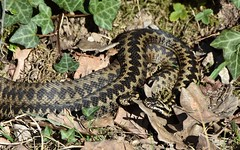 Adders (Clare_leeloo) Tags: adders snakes reptiles nature spring wildlife