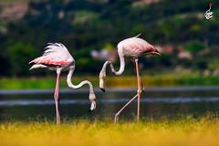 Greater Flamingo (S.M. Ali Javed) Tags: greater flamingo bird birding birdsofpakistan natgeo nature natural natgeoyourshot naturallight wildlife wild wildbirds wildlifereserve wildplanet wildlifeofpakistan wikipedia wildbirdtrust wilderness