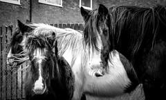 Cockfield Fell . (wayman2011) Tags: colinhart fujifilmxf50mmf2 fujifilmxt1 lightroom5 wayman2011 bw mono rural villages horses pennines dales teesdale cockfieldfell cockfield countydurham uk