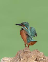 TAR_2764s (TARIQ HAMEED SULEMANI) Tags: sulemani tariq tourism trekking tariqhameedsulemani winter wildlife wild birds nature nikon