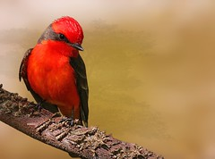 Vermilion Flycatcher (adult male) (maom_1 (Off, most of the time)) Tags: vermilionflycatcher birds nature wildlife digital collage greatphotographers coth5
