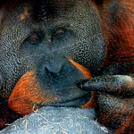#RockytheOrangutan has been called the smartest ape in the world but looking like the saddest one. thumbnail