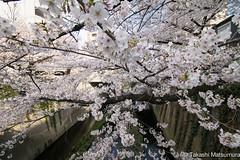 Kanda River (takashi_matsumura) Tags: kanda river waseda shinjukuku tokyo japan ngc nikon d5300 sakura cherry blossoms 桜 早稲田 新宿区 東京 神田川 afp dx nikkor 1020mm f4556g vr