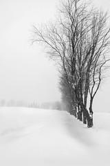In a row (soniamarmen) Tags: winter landscape blackwhite trees row solhouettes blizzard snow skancheli