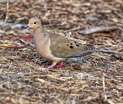 The Mourning Dove (explore 1/12/19) (Darts5) Tags: mourningdove dove bird birds animal nature 7d2 7dmarkll 7dmarkii 7d2canon ef100400mmlll closeup canon7d2 canon7dmarkii canon7dmarkll canon canonef100400mmlii
