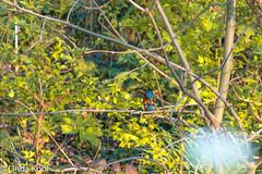 IJsvogel-7085 (lindakvl) Tags: ijsvogel schiedam natuur vogels
