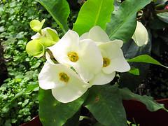 Euphorbia Flowers (M.P.N.texan) Tags: succulent plant crownofthorns euphorbia flower flowers flowering bloom blooms blooming white
