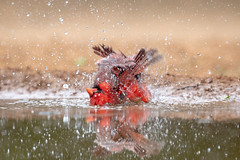 When you are really getting into your bath... (tspine) Tags: northerncardinal santaclararanch texas