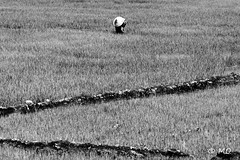 Alone in rice field (mathieuo1) Tags: vietnam taynguyen rice field alone people vietnamese graphic bnw blackandwhite monochrome travel explore discover art zoom exposure rules traveler under illumination outdoor shape dark scape landscape nature rural country highlands nikon gitzo digital mathieuo
