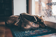 Stella wishes she was a shoe. (M///S///H) Tags: lenstagger doggo god pupper puppy stella thedog