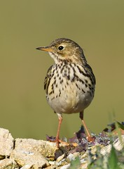 Petinha dos prados / Meadow Pipit (anacm.silva) Tags: petinhadosprados anthuspratensis meadowpipit pipit ave bird wild wildlife nature natureza naturaleza birds aves murtosa portugal coth5