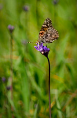 Split second stillness (jennbastian) Tags: butterfly flower purple wildflower painted lady nature california