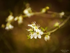 Every Flower is a Soul Blossoming in Nature (barbara_donders) Tags: natuur nature spring lente bloesem blossom white wit flowers bloemen beautiful mooi prachtig magisch magical bokeh macro dof