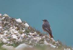 Black Redstart -8503090 (seandarcy2) Tags: birds wild wildlife west highdown iow handheld coast cliffs redstart blackredstart